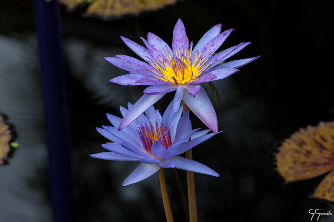 Purple Yellow Lily Photo