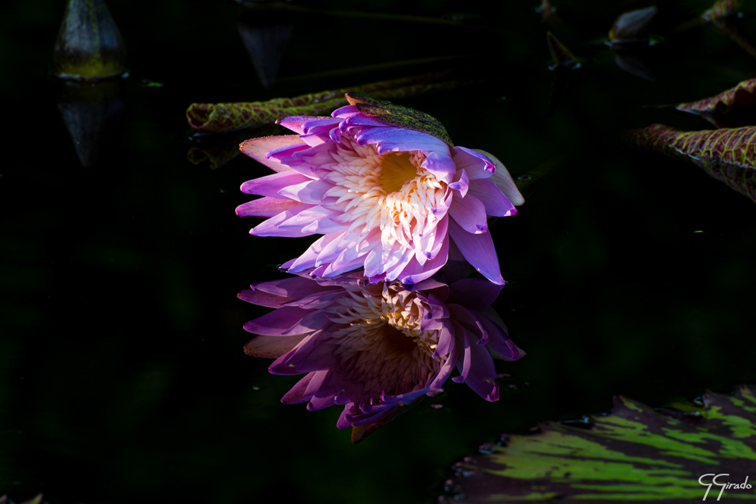 Light Purple Water Lily Photo